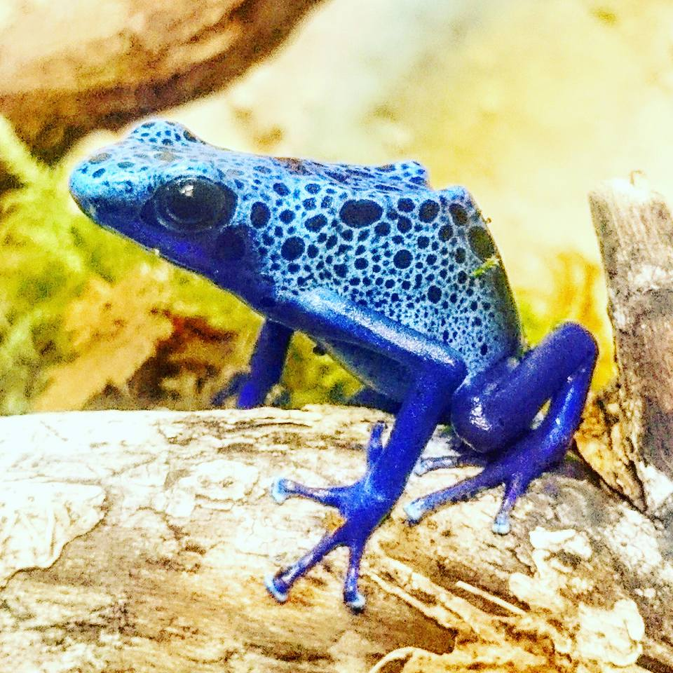 National Reptile Zoo Poison Dart Frog 1